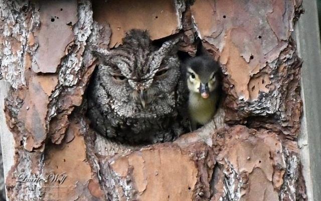 """ბუ იხვის ჭუკის """"დედა"""" გახდა... ფრინველმა შეცდომით უცხო კვერცხი გამოჩეკა"""