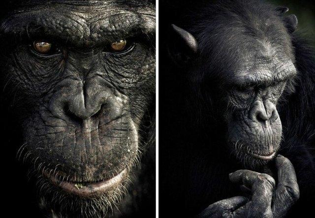მაიმუნების ემოციები ფოტოგრაფმა ობიექტივზე აღბეჭდა