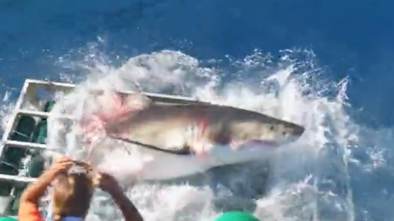 ზვიგენმა შეამტვრია გალია, სადაც დაივერი იმყოფებოდა.. (+ვიდეო)