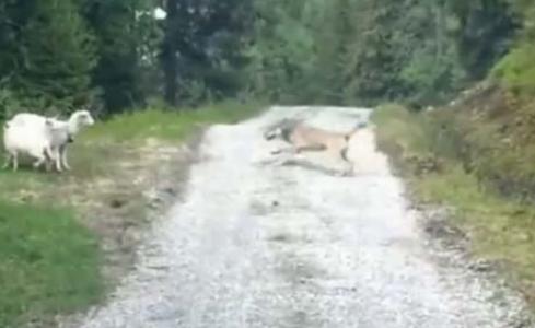 ცხვარი მგელს თავს დაესხა, ეს ბუნების კანონებს სცდება (+ვიდეო)
