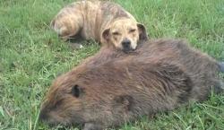 ძაღლი თავის გარდაცვლილ მეგობარს გვერდიდან არ სცილდება (+ვიდეო)