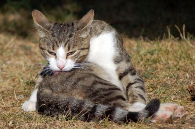 რატომ ილოკავს კატა ბეწვს?