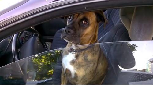 ძაღლის საოცარი რეაქცია, როცა მას პოლიციელმა მართვის მოწმობა მოსთხოვა (+ვიდეო)