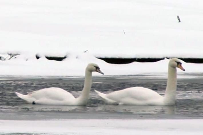 მოსკოვთან ყინულის ალყაში მოქცეული ორი ერთგული გედის გადარჩენისთვის იბრძვიან (+ვიდეო)
