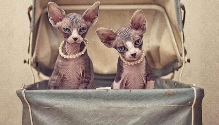 ზღაპრული კატების - სფინქსების საოცარი ფოტოები (+ფოტო)