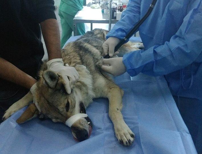 ცხოველთა მონიტორინგის სამსახურის უფროსი - ექსპერტები ადასტურებენ, რომ თბილისში ნაპოვნი ცხოველი ვიზუალურად მგელია