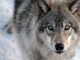 ადამიანმა ჯერ დაუბადებელი ბავშვი გაწირა. მგელი კი სიცოცხლის ფასად იცავდა ოჯახს. - შვილების გამო, ღირდა სიკვდილი!