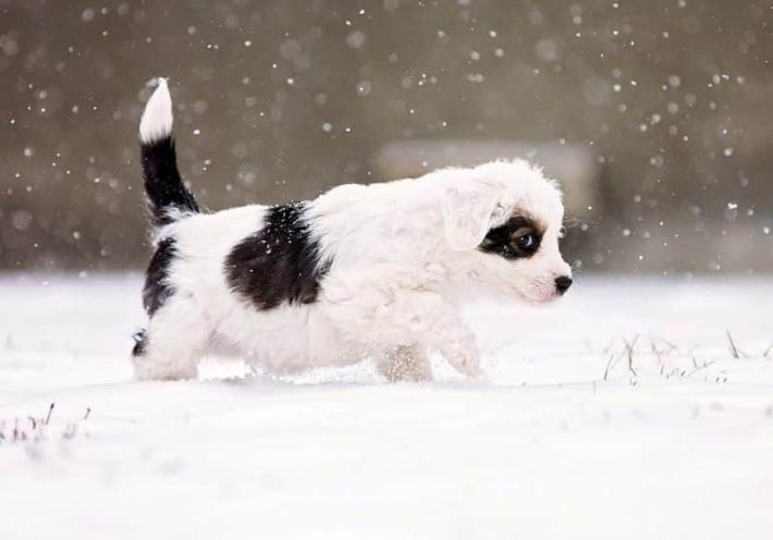 ორგანიზმის ჰიპოთერმია (გადაციება) ძაღლებში - როგორ მოვუაროთ ძაღლს ცივ ამინდში?