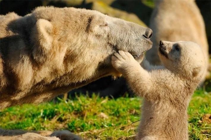 დედობრივი სიყვარული და მზრუნველობა ცხოველთა სამყაროში (22 ფოტო)