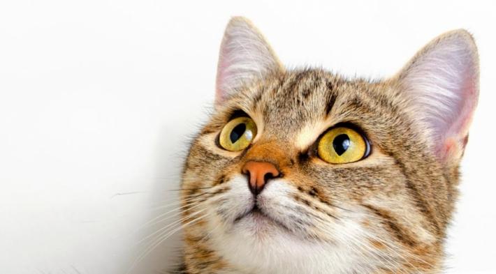 მეცნიერები კატების ენის ლექსიკონს შექმნიან