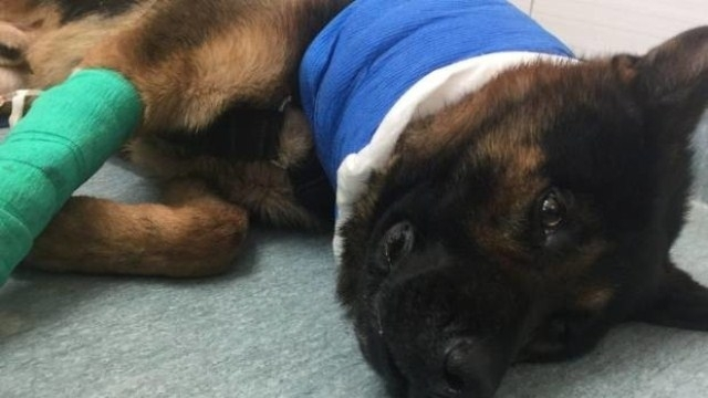 დამნაშავის მიერ დაჭრილი პოლიციის ძაღლის გადარჩენა მეგობრისგან გადასხმული სისხლით მოხერხდა