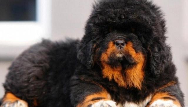 """ჩინელმა """"ტიბეტური მასტიფის"""" ლეკვი იყიდა, 2 წლის შემდგ მიხვდა, რომ გარეულ ცხოველს ზრდიდა"""