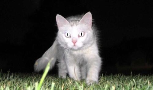 როგორი მხედველობა და ორიენტაცია აქვს კატას სიბნელეში?