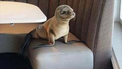 მშიერი ზღვის ლომი რესტორანში შეიპარა და მაგიდასთან მოკალათდა (+ვიდეო)