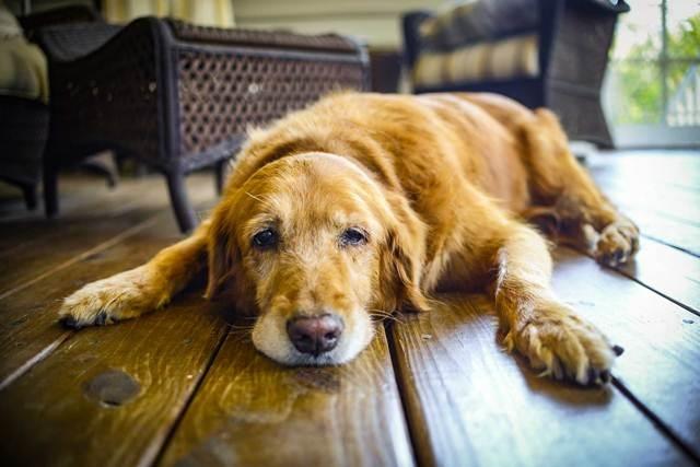 მეცნიერებმა შექმნეს წამალი, რომელიც ძაღლებს 5 წლით გაუხანგრძლივებს სიცოცხლეს
