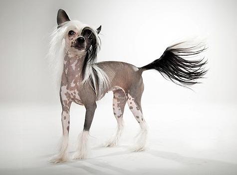 ჩინური ქოჩორა ძაღლი