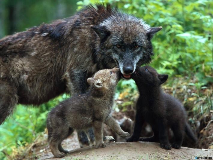მგელმა სამაგიერო უსისხლოდ გადამიხადა.. მან დამანახა, რომ ის ადამიანზე ძლიერია.. რომ მე ბავშვების მკვლელი ვიყავი..