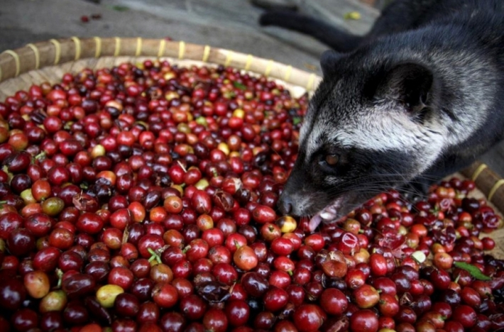 ცივეტას ექსკრემენტები - ყველაზე ძვირადღირებული ყავა მსოფლიოში
