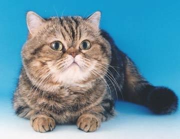 ეგზოტიკური მოკლებეწვიანი კატა