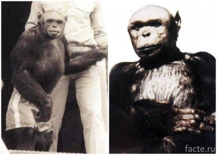 რა ბედი ეწია ადამიანისა და მაიმუნის ჰიბრიდს – საიდუმლო ექსპერიმენტი