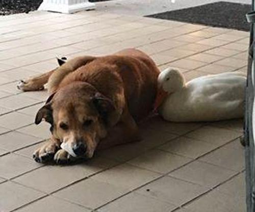 იხვი თავად ესტუმრა სევდიან ძაღლს, რომელმაც მეგობარი დაკარგა