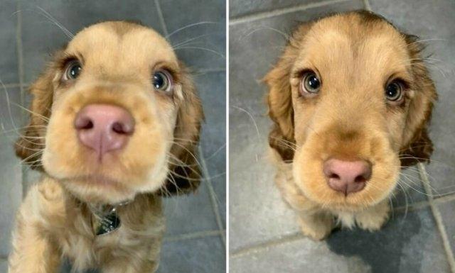 ვინი - ძაღლი, რომელიც ანიმაციური ფილმის გმირს ჰგავს (სახალისო ფოტოები)