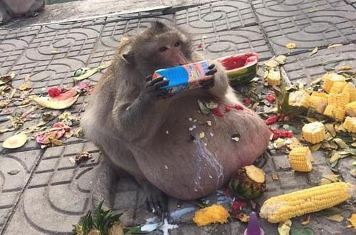 ჭარბწონიან მაიმუნს ვეტერინარებმა მკაცრი დიეტა დაუნიშნეს