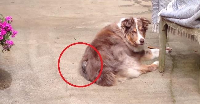 ფრინველი ძაღლს ბეწვს აცლის, რათა ბუდე გააკეთოს (+ვიდეო)