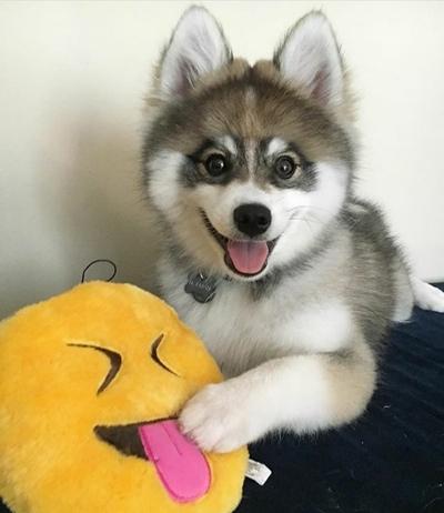 უსაყვარლესი ძაღლი ნორმანი, რომელიც არც ჰასკია, არც შპიცი