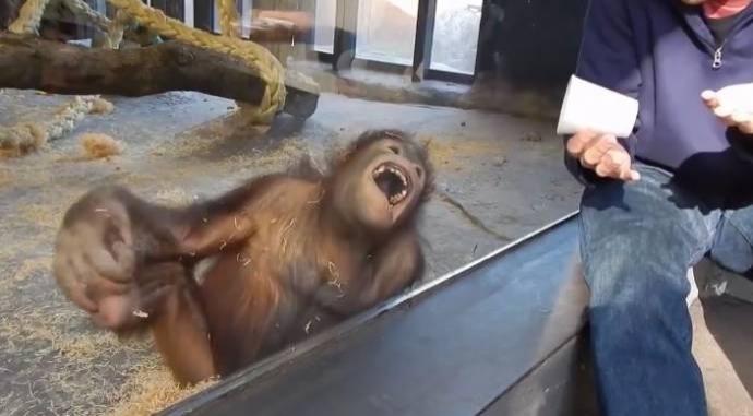 ორანგუტანგი ფოკუსის ნახვისას სიცილისგან ჩაბჟირდა (+ვიდეო)
