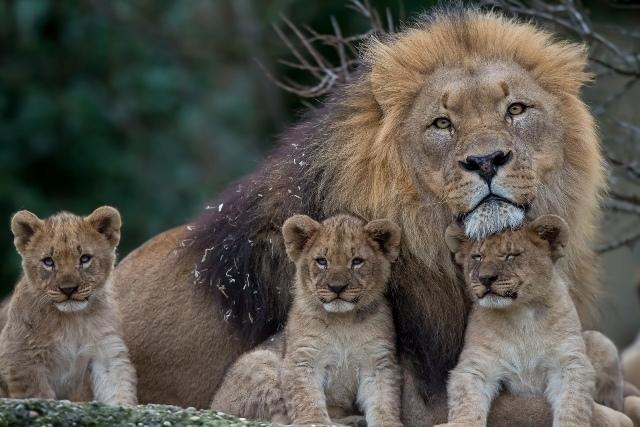 მსოფლიო დიდი კატების გარეშე: სპეციალისტებმა ლომების სრული გადაშენება იწინასწარმეტყველეს