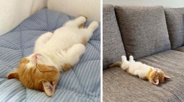კნუტი, რომელსაც ძალიან უყვარს ადამიანივით ზურგზე ძილი (სახალისო ფოტოები)
