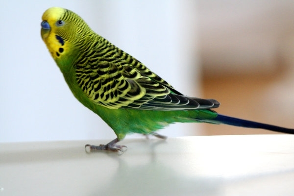 ტალღოვანი თუთიყუშების დაავადებათა სიმპტომები