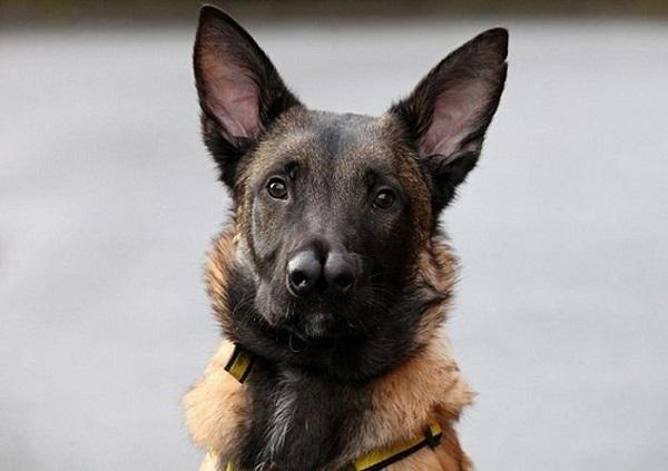 არაჩვეულებრივი ძაღლი ორი ცხვირითა და დიდი გულით (+ფოტო)