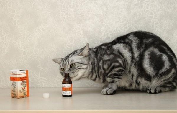 რატომ უყვარს კატას კატაბალახა და შეიძლება თუ არა მისთვის ამ წამლის მიღება?