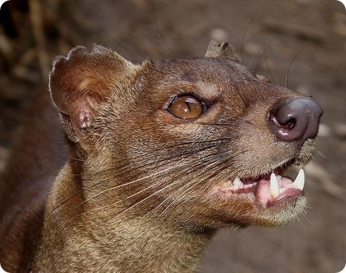 ფოსა-ყველაზე იშვიათი ცხოველი დედამიწაზე