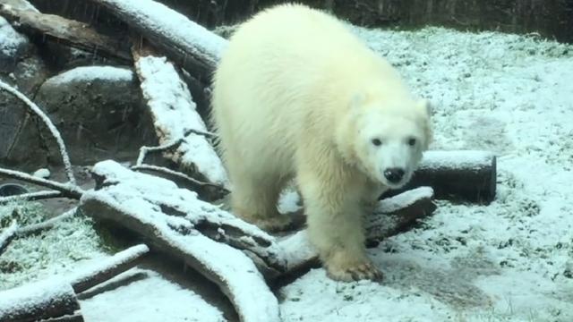 დედისგან მიტოვებულმა თეთრი დათვის ბელმა პირველად იხილა თოვლი (+ვიდეო)