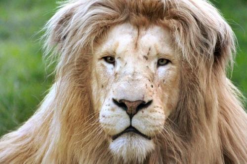 თეთრი ლომი სამხრეთ აფრიკიდან, რომელსაც კამერის წინ პოზირება ძალიან მოსწონს (+ვიდეო)