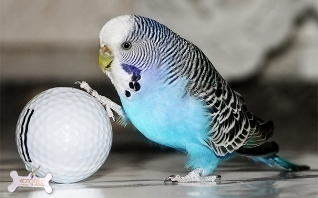 როგორ განვსაზღვროთ ტალღოვანი თუთიყუშის ასაკი?
