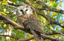 ყველაზე პატარა ბუ მსოფლიოში - Aegolius funereus (Tengmalm's owl)
