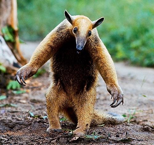 ტამანდუა - უცნაური და სასაცილო ცხოველი