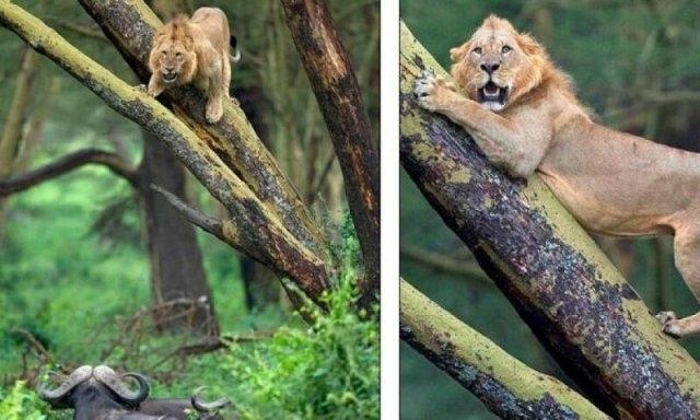ლომმა კამეჩის ჯოგს თავი დააღწია და შეშინებული ხეზე აძვრა