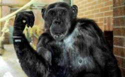 ნიუ-იორკის სასამართლომ აღიარა, რომ შიმპანზეს იგივე უფლებები აქვს, რაც ადამიანს