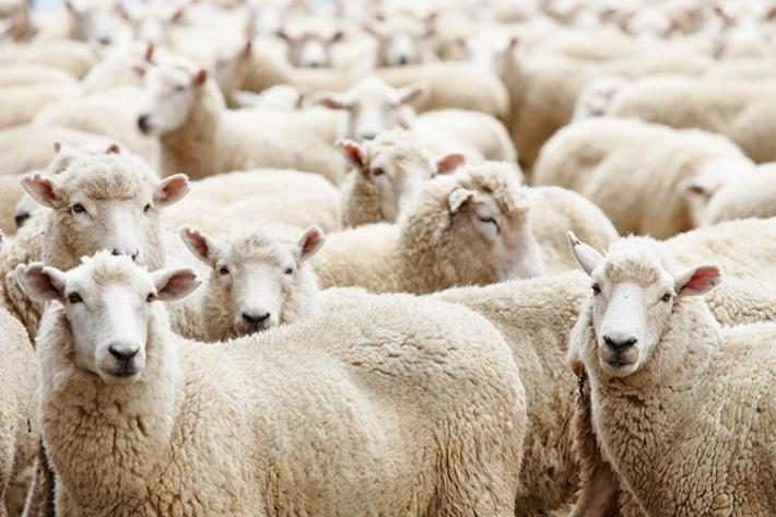 უსაფუძვლოა თუ არა დახოცილი ცხვრების გარშემო შექმნილი პანიკა