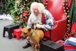 გადარჩენილი პიტბული პირველად შეხვდა სანტას, მისი რეაქცია წარმოუდგენელია (+ვიდეო)