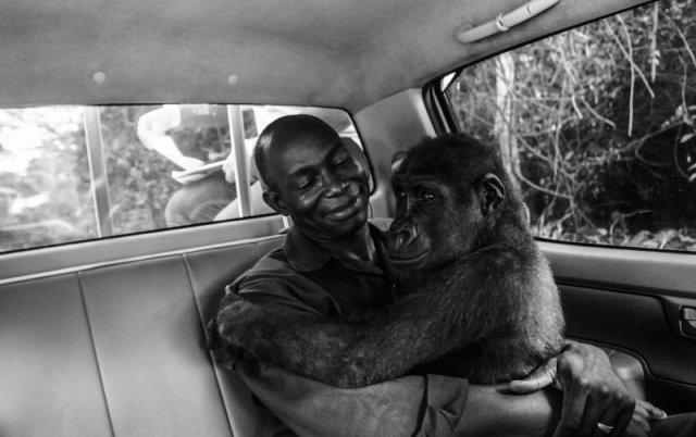 გორილას ფოტო, რომელიც თავის გადამრჩენელს ეხუტება, Wildlife Photographer of the Year-ის გამარჯვებული გახდა