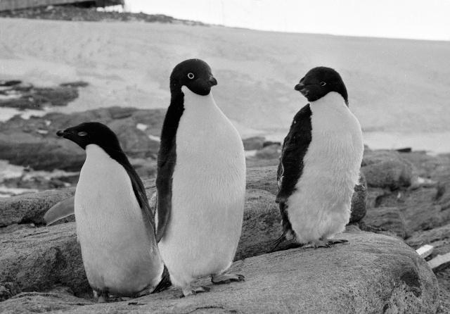 ანტარქტიდაზე უძველესი პინგვინების მუმიები აღმოაჩინეს