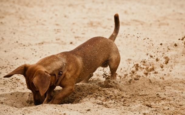 როცა ძაღლი თხრის