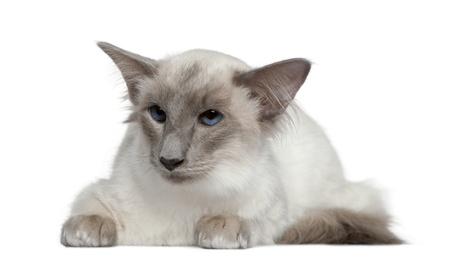 ბალიური კატა