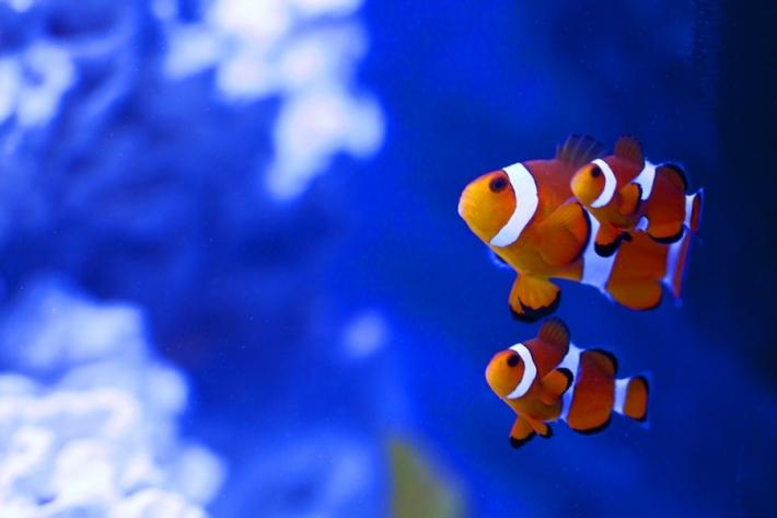 როგორ ურთიერთობენ თევზები?